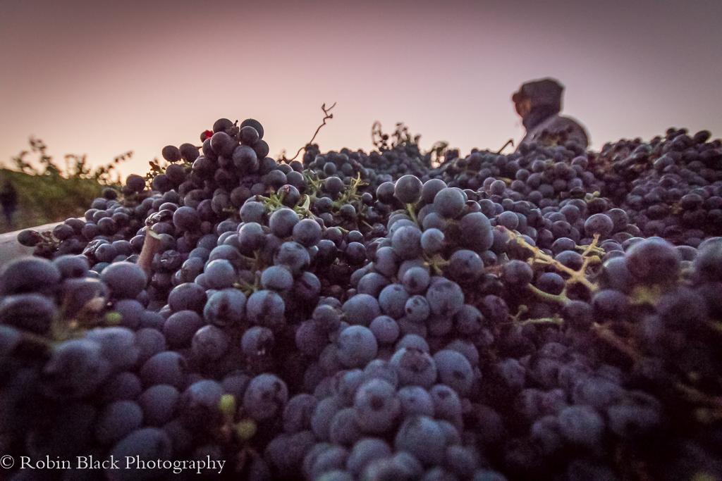 grapes-at-dawn